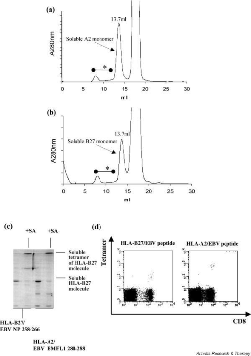 Gel filtration and gel electrophoresis of refolded HLA-A2/EBV peptide monomers (a; c, lanes 3 and 4) and HLA-B27/EBV peptide monomers (b; c, lanes 1 and 2). In both experiments the amount of protein aggregation is low, indicated by small amounts of eluted proteins between 7 and 13 ml. The peaks eluted at 13.7 ml contained the soluble MHC monomer. The gel in (c) shows that both eluted monomers are highly purified (lanes 1 and 3) and that most soluble monomers bind to streptavidin if added (lanes 2 and 4). (d) Antigen-specific T cells could be detected with both tetramers, although HLA-A2 tetramers stained with greater intensity (log 0.8 more) than HLA-B27. A280, absorption at 280 nm; asterisks, protein aggregates; SA, streptavidin.