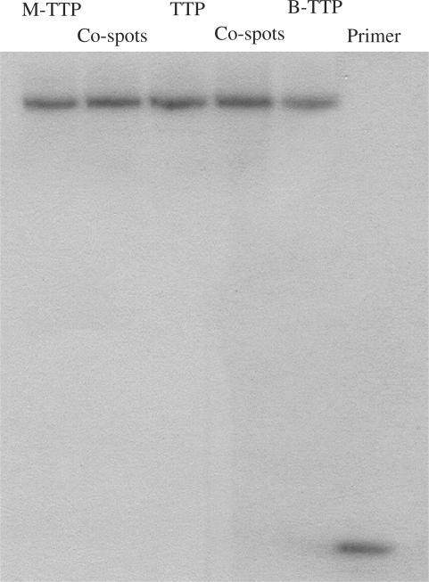 Primer extension using the full-length DNA and boronic acid-labeled DNA as templates. Reaction was performed with 5 µM primer 1/template, 0.4 mM of each dNTPs, 0.4 mM of labeled-TTP (M-TTP and B-TTP), and Klenow 0.04 units for 1 h. After centrifugation–filtration, the reaction was performed with radio-labeled 5′-32P-primer 2 and 0.4 mM of each dNTPs. Co-spot 1: polymerization using M-TTP and TTP-derived DNA as templates, Co-spot 2: polymerization using B-TTP and TTP-derived DNA as templates. Primer 1: 5′-GCGTAATACGACTCACTATA-3′; Template DNA: 3′CGCATTATGCTGAGTGATATCCGTTGGACTACTCCGGCTT TCCGGCTTTGCATGT-5′; Primer 2: 5′-TGTACGTTTCGGCCTTTCGG-3′.