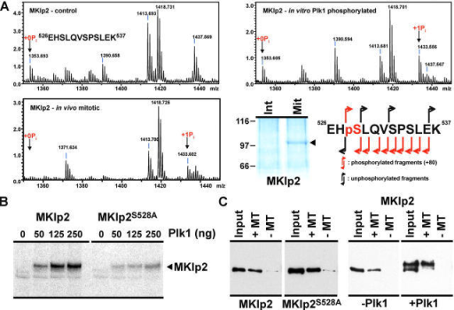 Analysis of the sites on human MKlp2 phosphorylated in vivo and in vitro by Plk1. (A) MKlp2, MKlp2 treated with Plk1 in vitro, and MKlp2 immune precipitated from 2.5 mg extract prepared from asynchronous cells (Int) and cells arrested with nocodazole and released for 2 h (Mit) were digested with trypsin and then analyzed by mass spectrometry. Note that as expected, MKlp2 is highly enriched in the mitotic cells. A region of the spectra showing phosphorylation of a peptide from 526 to 537 in Plk1-treated and in vivo MKlp2 is shown. Fragmentation of this peptide showed that the serine at 528 is phosphorylated by Plk1 and in vivo. (B) MKlp2 and MKlp2S528A (1 μg) were treated with the indicated amounts of Plk1 for 1 h at 30°C, and were then analyzed by gel electrophoresis and autoradiography. (C) Microtubule-binding assays were performed with 5 pmol MKlp2 and MKlp25528A treated with buffer or Plk1. Samples were then analyzed by Western blotting and detection with antibodies to the hexahistidine tag.
