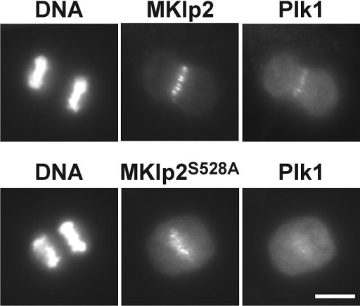 A phosphorylation site mutant of MKlp2 fails to rescue targeting of Plk1 to the central spindle in MKlp2-depleted cells. HeLa S3 cells were treated with the MKlp2 siRNA duplex for 18 h and were then transfected with siRNA-resistant GFP-tagged MKlp2 or a phosphorylation site mutant for 12 h. Cells were fixed with methanol and then stained with antibodies to Plk1, GFP was directly visualized, and DNA was stained with DAPI. Bar, 10 μM.