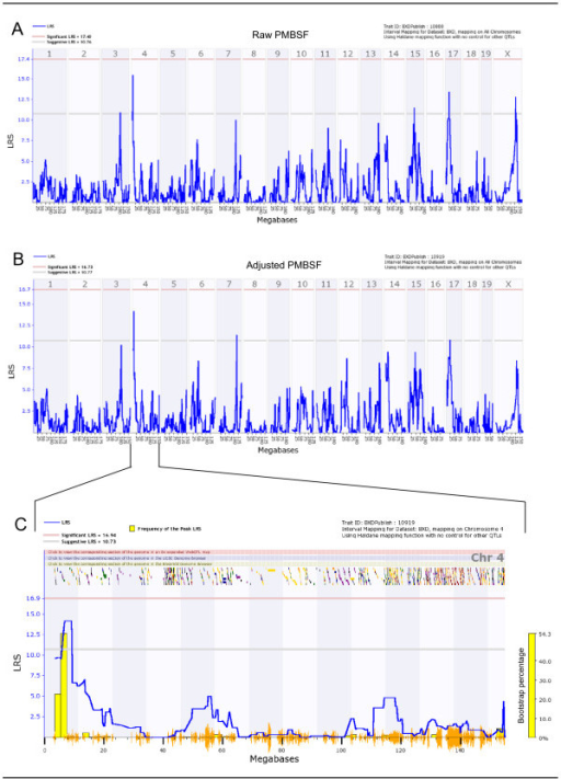 Genome-wide total PMBSF raw and adjusted linkage maps and chromosome 4 interval map. (A) Genome-wide linkage map of raw PMBSF area shows two suggestive QTLs on chromosomes 4 and 17. (B) Total PMBSF area linkage map after adjustment for brain weight shows a suggestive QTL on chromosome 4. Chromosome 17 linkage is not observed here. (C) Chromosome 4 interval map of adjusted total PMBSF area. Genes spanning the interval of 5.5 to 9.0 Mb on chromosome 4 were examined. Lower gray horizontal line: suggestive LRS genome-wide threshold at p ≤ 0.63. Upper red horizontal line: significant LRS genome-wide threshold at p ≤ 0.05. Yellow histogram: frequency of peak LRS (bootstrap analysis). Orange seismograph marks indicate SNP density.