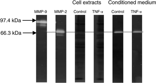 Representative gelatin zymograph of control and TNF-α-stimulated HBL melanoma cell extracts and cell conditioned medium. Cells constitutively expressed pro-MMP-2 (66.3 kDa band) in the culture medium and no upregulation or activation of the latent enzyme was observed after preincubation with TNF-α at 200 U ml−1. Lanes 1 and 2 represent internal human purified MMP-2 and MMP-9 standards.