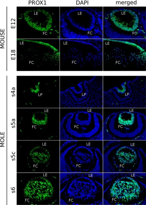 Spatiotemporal expression pattern of PROX1 in the Iberian mole lens. In mouse samples (E12, E18), specific Prox1-immunofluorescence is observed in the nucleus of differentiating lens fibres and in the cytoplasm of epithelial cells. During the mole lens development, PROX1 showed a cytoplasmic distribution in the invaginating lens placode (s4a). Once the lens vesicle becomes polarised, PROX1 is highly detected in the nucleus of all the lens cells (s5a, s5c). From the s6 stage on, cytoplasmic localisation of PROX1 is clearly seen mainly in posterior fibre cells but also in the lens epithelium. Photomicrographs were taken using a single bandpass fluorescence mirror unit and merged with 'The Gimp' software. Scale bar represents 100 μm in all figures. LE, lens epithelium; FC, fibre cells; LP, lens pit.