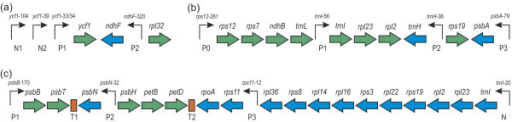 Examples of loci. (a) Locus 1 from Arabidopsis, (b) Locus 2 from Hordeum, (c) Locus 3 from Arabidopsis. PEP-promoters are designated with P, NEP-promoters - with N; T1 and T2 are predicted terminators. Positions of transcription initiation sites are given relative to start codons of the corresponding genes. DNA strand containing the promoter and the gene is marked with arrow and color, respectively.