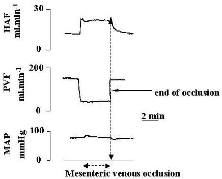 The hepatic arterial buffer response during portal venous occlusion. There was a significant increase in hepatic arterial flow during portal venous occlusion (* p < 0.05) compared to basal hepatic arterial flow. HAF = hepatic arterial flow, PVF = portal venous flow and MAP = mean arterial pressure.