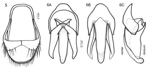 Figures 5–6. Oculogryphus bicolor sp. n., male 5 aedeagal sheath, dorsal aspect 6 male genitalia, dorsal (A), ventral (B), and lateral (C) aspects.