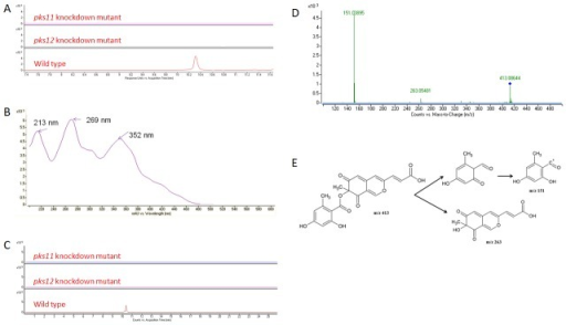 Detection of mitorubrinic acid by UHPLC-DAD/ESI-Q-TOF-MS and MS/MS analysis.(A) HPLC profiles monitored by photodiode array detector and illustrated at 360 nm, (B) UV absorption spectrum, (C) extracted ion chromatograms (m/z 413.0876), (D) MS/MS fragmentation pattern and (E) MS/MS fragmentation pathway showing the presence of mitorubrinic acid detected and identified in wild type of P. marneffei but not in pks11 or pks12 knockdown mutants.