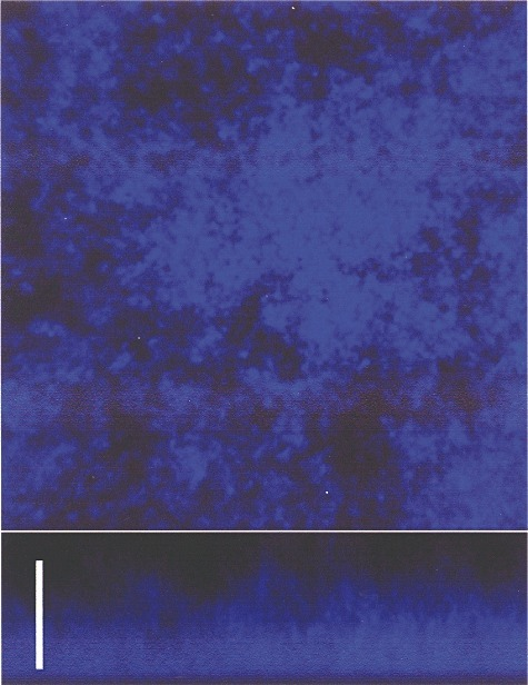 CLSM of the biofilm formed by the S. pneumoniae R6 strain stained with calcofluor white. Bar, 25 µm.