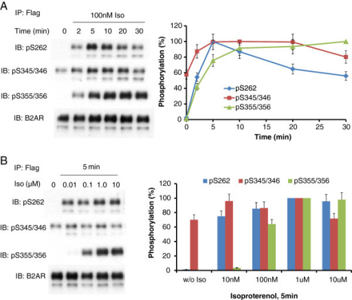 β2AR phosphorylation in HEK293 cells challenged with beta-adrenergic agonist. HEK293 clones stably expressing N-terminal Flag-tagged, C-terminal eGFP-tagged β2AR were treated either with 100 nM isoproterenol for the indicated times (A) or with varying concentrations of the beta-adrenergic agonist, isoproterenol for 5 min (B). β2AR was immunoprecipitated with anti-Flag immunoadsorption beads. SDS-PAGE and immunoblotting were performed as indicated in the Materials and methods section. The phosphorylation of β2AR was normalized to total β2AR. The data were quantified and are displayed as percentage of maximum phosphorylation of each site (s). The experimental data shown is of a single analysis performed in triplicate and replicated multiple times with similar results.
