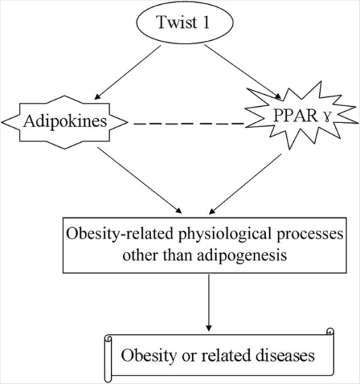 A model for possible role of Twist 1 in obesity or obesity-related diseases. The expression of Twist 1 influences the transcription and protein expression of PPARγ during differentiation induction and alters the secretion of multiple adipokines into the medium, either directly or indirectly. Then, altered PPARγ or adipokines play roles in obesity-related physiological process, but not in adipogenesis, which further regulates obesity or obesity-related diseases.