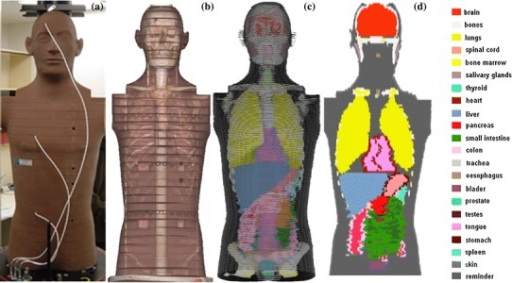 a Front view of RANDO phantom; b CT scan of the phantom; c and d the numerical voxel phantom NUNDO; organs and tissues are represented by different colours, and not all organs are visible