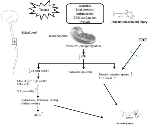 The schematic results of current study. We proposed that TDE protects cells against hydrogen peroxide or radical scavenging-induced toxicity, and that an antioxidant mechanism through ROS scavenging may be in part responsible for cells neuroprotection.