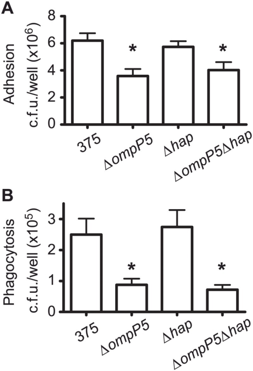 Interaction of NTHi375 mutants lacking the ompP5 and hap genes with alveolar macrophages.NTHi375, ΔompP5, Δhap and ΔompP5Δhap strains were used to assess adhesion to- (A) and phagocytosis by- (B) MH-S alveolar macrophages. Experiments were performed in triplicate in at least three independent occasions (n≥9).