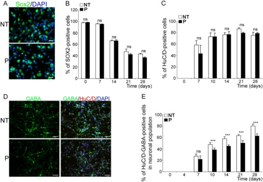 bdv-p expression does not alter neuronal specification but induces a reduction in the GABAergic subpopulation.Transduced hNPCs expressing bdv-p and their matched NT controls were induced to differentiate for 0, 7, 10, 14, 21 and 28 days and immunostained with antibodies directed against markers of different stages of differentiation. (A) immunostaining of hNPCs differentiated for 28 days with an anti-Sox2 antibody (green). Nuclei were counterstained with DAPI (blue). Scale bar, 20 μm. Time-course analyses showing the percentage of (B) Sox2-positive cells and (C) HuC/D-positive cells. (D) Immunostaining of hNPCs differentiated for 14 days with antibodies against HuC/D and GABA. Nuclei were stained with DAPI (blue). Scale bar, 50 μm. (E) Time-course analysis showing the percentage of huC/D- and GABA-positive cells in the total neuronal population. Results are representative of 2 (B) and 3 (C and E) independent experiments performed in triplicate. Statistical analyses were performed using the Mann-Whitney test. ***, p < 0.005. nd, non-determined.