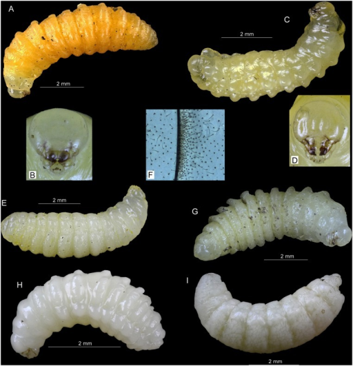 Larvae of aculeate Hymenoptera from nests in reed galls of Lipara spp.A—Pemphredon fabricii, whole larva, lateral view, B—Pemphredon fabricii, head, frontal view, C—Trypoxylon deceptorium, whole larva, lateral view, D—Trypoxylon deceptorium, head, frontal view, E—Hoplitis leucomelana, whole larva, lateral view, F—Hoplitis leucomelana, typical structure of setae and sensillae between body segments, G—Hylaeus pectoralis, whole larva, lateral view, H—Trichrysis cyanea, whole larva, lateral view, I—Thyridanthrax fenestratus, whole larva, lateral view. All photos by P. Bogusch.