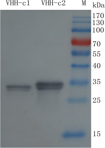 Western blot analysis of the purified sdAbs. SdAbs were expressed through the fusion of 6 × His tag at the N-terminus. Lanes 1 and 2, purified sdAb-c1 and sdAb-c2. M = pre-stained molecular weight markers