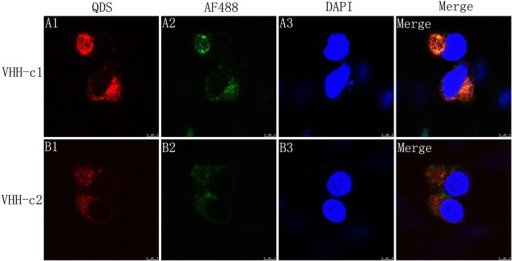 Subcellular localization of FMDV with the sdAb-QD probes. The BHK-21 cells were harvested at 4 h.p.i and processed for immunofluorescence with sdAb-AF488 (green A1 and B1) and sdAb-QDs (red A2 and B2). All nuclei (A3, B3) were stained with DAPI. The merged images show the co-localization of FMDV with different probes. Magnification is 100×