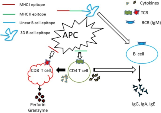 Central role of CD4+ T cells in peptide vaccines. Vaccine-induced immune response to control microbial pathogens may involve cytotoxic CD8+ T cell responses, helper CD4+ T cell responses, or antibody (B cell) responses. T cells recognize linear epitopes presented by antigen presenting cells, whereas B cells are capable of recognizing linear and conformational epitopes on soluble antigens. The induction of robust CD8+ T cell and/or antibody responses requires cytokine help from CD4+ T cells. Therefore, regardless of the nature of protective immune response required, the induction of CD4+ T cell responses is critical.