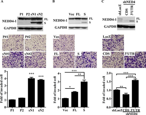 sNEDD4 promotes tumor cell invasion in vitroNEDD4 and sNEDD4 protein levels of cells were determined using Western blot (A–C upper panel). The invasive ability of cells was determined with the Transwell invasion assay (A–C, middle and lower panel). P1 and P2, control stable SK cell lines; sN1 and sN2, stable sNEDD4-overexpressing SK cells; Vec, empty vector control; FL, full-length NEDD4; S, sNEDD4; CDS, NEDD4 shRNA target to coding region; 3′UTR, NEDD4 shRNA target to the 3′-untranslated regions; *P < 0.05; **P < 0.01; ***P < 0.001.