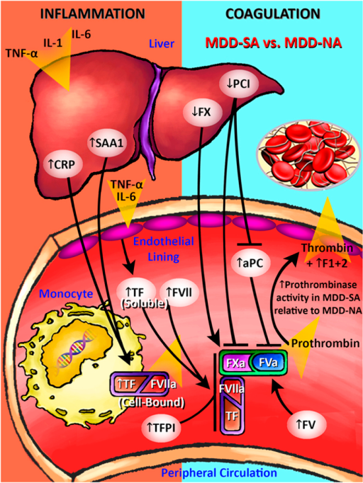 Inflammation-Coagulation Crosstalk and Extrinsic Pathway Activation in Majorly Depressed Suicide Attempters.Inflammatory cytokines induce endothelial cells to express soluble TF. More potent upregulation of CRP and SAA1 in MDD-SA subjects induces increased monocytic expression of cell-bound TF, which catalyzes the conversion of increased soluble TF and circulating FVII to generate the TF-FVIIa complex that efficiently converts the increased FX to FXa. FXa and thrombin then mediate the activation of increased FV to form FVa, which, in turn, binds to FXa to form prothrombinase (FVa-FXa complex). TFPI upregulation indicates inhibition of the TF-FVIIa complex and FXa. PCI downregulation indicates disinhibition of FXa. APC upregulation is likely a result of PCI downregulation. The cumulative effect of these differential changes in protein expression yields increased relative prothombinase activity in MDD-SA relative to MDD-NA subjects (Fig. 6). Acronyms: MDD, major depressive disorder; MDD-SA, majorly depressed suicide attempter; MDD-NA, majorly depressed non-attempter; HC, healthy control; TNF-alpha, tumor necrosis factor-alpha; IL-1, interleukin-1; IL-6, interleukin-6; CRP, C-reactive protein; SAA1, serum amyloid A protein 1; TF, tissue factor; FVII, coagulation factor FVII; FVIIa, activated coagulation factor FVII; FX, coagulation factor X; FXa, activated coagulation factor X; FV, coagulation factor V; FVa, activated coagulation factor V; TFPI, tissue factor pathway inhibitor; PCI, protein C inhibitor; APC, activated protein C.
