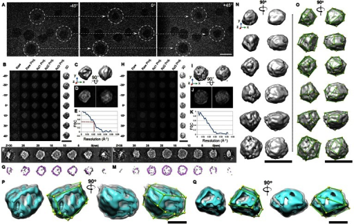 The 3D morphology of VLDL particles by cryo-ET. A: Three representative views of the single-axis tilt series of frozen hydrated VLDLs. B–G: Refinement procedures and results for one VLDL particle (image contrast reversed). B: IPET 3D reconstruction procedures. C, D: Two orthogonal views of refined particles low-pass filtered at 50 Å shown as an iso-surface representation (top) or a reprojection (bottom). The reader faces the Z-axis of the 3D reconstruction when viewing the left panel. E: Resolution was estimated by FSC between two models built from odd- and even-numbered views, respectively. F, G: The XY slices of the 3D maps at different heights are displayed as projection (top) and iso-surface (bottom) views. H–M: IPET 3D reconstruction procedures of another VLDL particle are shown. N: The 3D density maps of six representative VLDL particles are reconstructed and displayed from two perpendicular directions. The reader faces the Z-axis of the 3D reconstruction when viewing the left panel. Each map was low-pass filtered to 50 Å. O: The same maps as in (N) marked with the vertices and edges. P, Q: The 3D density maps of two representative VLDLs are displayed at a high contour level (cyan color) and a low contour level (gray color). The high contour map shows the structure of the high density components, e.g., apolipoproteins of VLDL. Scale bars: 50 nm (A–O); 25 nm (P, Q).