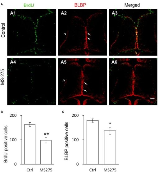 Class I HDAC inhibitor decreases the proliferative rate of radial glia cells. (A) Representative images showing the co-labeling for BrdU+ and BLBP+ in control (A1–A3) and MS-275-treated (10 μM, A4–A6) tecta. The BLBP+ cell bodies locate along the midline of the ventricular layer of the tectum (arrows) and the endfeet reside along the edge of neuropil (arrow heads). Scale: 50 μm. (B–C) Summary data showing that the numbers of BrdU+ and BLBP+ cells were dramatically decreased in MS-275-treated tecta compared to the control tecta. (BrdU: Ctrl, 163.2 ± 7.9, N = 5, MS-275, 98.2 ± 10.9, N = 4; BLBP: Ctrl, 179.2 ± 7.2, N = 5, MS-275, 137.2 ± 14.6, N = 4; *p < 0.05, **p < 0.01).