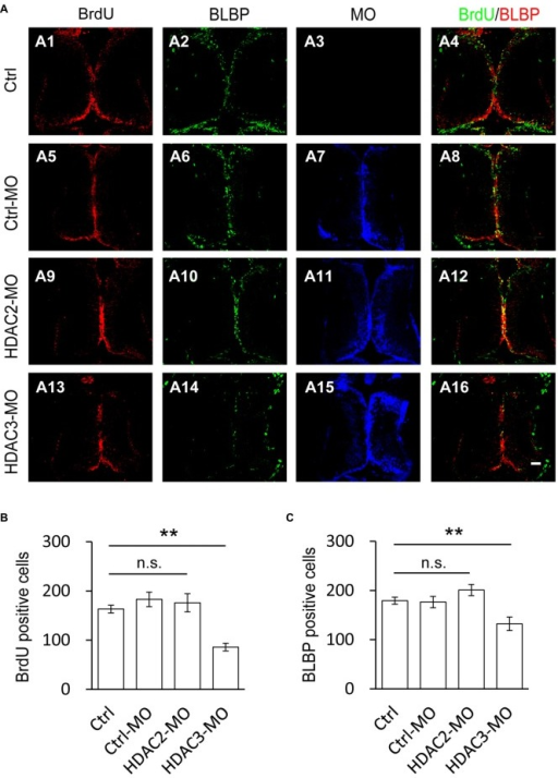 Number of BrdU+ cells is decreased by HDAC3 knockdown but not HDAC2 knockdown. (A) Representative immunofluorescence images of BrdU- and BLBP-labeled cells in control (A1–A4), Ctrl-MO (A5–A8), HDA2-MO (A9–A12) and HDAC3-MO (D13–D15) transfected brains in stage 48 tadpoles. Scale: 50 μm. (B–C) Summary data showing that HDAC3-MO, but not HDAC2-MO transfection dramatically decreased the number of BrdU- (B) and BLBP+ labeled cells (C). It was not significantly altered in Ctrl-MO tectum  (B,C). (BrdU: Ctrl, 163.2 ± 7.9, N = 5, Ctrl-MO, 183.0 ± 14.6, N = 4, HDAC2-MO, 176.0 ± 18.6, N = 3, HDAC3-MO, 86.0 ± 7.8, N = 3; BLBP: Ctrl, 179.2 ± 7.2, N = 5, Ctrl-MO, 176.5 ± 11.5, N = 4, HDAC2-MO, 201.0 ± 11.4, N = 3, HDAC3-MO, 132.3 ± 13.8, N = 3; **p < 0.01).