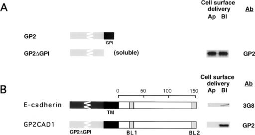 Dominant basal-lateral sorting activity  of E-cadherin is located in the transmembrane/ cytoplasmic domains. (A) GPI modification is  the sole determinant for targeting GP2 to the  apical membrane. GP2 has been shown previously to be preferentially delivered to the apical  domain of MDCK clone II/G cells (Mays et al.,  1995). Diagrams show schematically the structure of GP2 lacking the GPI modification signal  (GP2ΔGPI). GP2ΔGPI delivery was determined as described for E-cadsol (see Fig. 1 legend, and Materials and Methods). (B) Newly  synthesized GP2CAD1, labeled for 1 h, is sorted  to the basal-lateral membrane domain, similar to  endogenous E-cadherin. Diagrams show schematically the structure of GP2CAD1 compared  with E-cadherin. GP2CAD1 delivery to the cell  surface was assessed by 35S-Met/Cys labeling and cell surface biotinylation of the apical (Ap) or the basal-lateral (Bl) membrane domain. Note that the autoradiogram showing the E-cadherin targeting is the same as that shown in Fig. 2, and is included here for comparison.