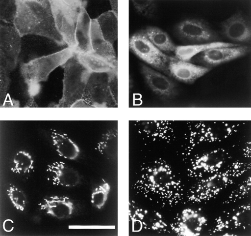 GP2CAD1 and GP2CAD10 show differences in sub-cellular localization by immunofluorescence staining. Reticular  staining of GP2CAD10 (B) is distinct from cell surface staining  of GP2CAD1 (A), Golgi staining (C), and lysosomal staining  (D). Monoclonal antibody against rat GP2 was used to stain  GP2CAD1 (A) and GP2CAD10 (B) expressing MDCK cells; (C)  NBD-ceramide staining of paraformaldehyde-fixed MDCK cells;  (D) Acridine orange staining of living MDCK cells. Bar, 50 μm.