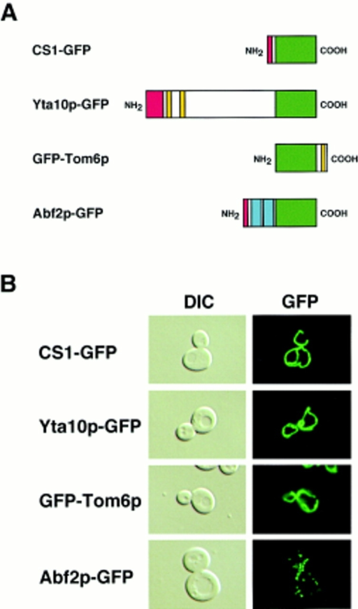 how to make a gfp fusion protein
