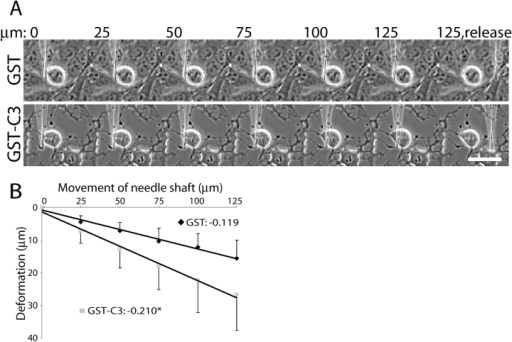 RhoA is required for rigidity of rounded mitotic cells. (A) Phase images of HeLa cells and the microneedle show the needle in contact with the cell before application of pressure (0) and after needle movement of various distances (shown in microns across the top). The location of the needle shaft after movement of 125 μm and release from the cell by lifting is shown in the last frame of each panel. A cell treated with GST (top panel) is not deformed by pressure exerted by the needle. A cell treated with GST–C3 (bottom panel) is deformed by pressure more than the GST-treated cell; the needle tip moves further when a given amount of pressure is applied to the GST–C3 cell than when it is applied to the GST-treated cell. Bar, 125 μm. (B) Cell rigidity is plotted as force versus distance of deformation (see Materials and methods). Data points are averages and standard deviations (GST, black diamonds; GST–C3, gray squares). Linear regressions are plotted; slopes correspond to cell rigidity. *, significant difference from GST treatment (P < 0.0005). n > 25 for each treatment. The values for Y-27632 treatment are included in the text.