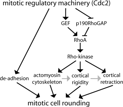 RhoA and Rho-kinase are required for actin reorganization, cortical rigidity, and cortical retraction during mitotic cell rounding. Black arrows denote direct or indirect stimulation as shown here or in the literature. Gray arrows represent possible causal relationships. Black lines followed by bars denote inhibition.