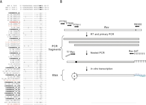 Amplification of autologous HIV sequences using multiplex PCR.Panel A. Sequence alignment of multiple HIV isolates, revealed a region                            of relative conservation with variable residues in positions 7847 and                            7848. Primer REVF7830 is perfectly complimentary to consensus sequence                            B, whereas primers REVF7830.1 and REVF7830.2 encode compensatory                            mutations in the 3′ region of the primer, indicated in                            bold. ···denotes deletions, -sequence identity, letters indicate                            alternative bases in the corresponding positions relative to consensus                            sequence B. Consensus sequences for common HIV clades as well as less                            frequent isolates are denoted in bold. Panel B. Schematic overview of                            the Rev RNA amplification strategy. Open bar denotes regions outside of                            open reading frame of interest, hatched bar denotes RNA region exon 2                            Rev, grey bar represent DNA intermediate products durig amplification                            process. For details on primer design and amplification refer to Method section.