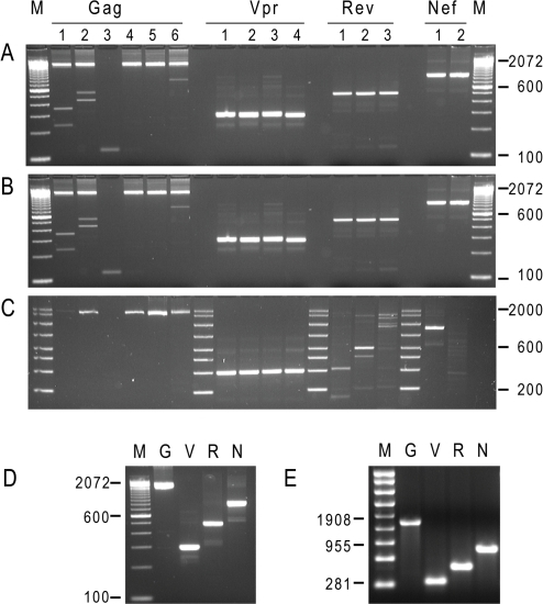 Successful clade-independent amplification of HIV RNA encoding for                            antigens from infectious plasma.Panel A: Agarose gel electrophoresis analysis of PCR fragment obtained                            from three diverse plasma. Amplification from subject plasma infected                            with Clade B sample. M: 100 bp DNA ladder (Invitrogen). Panel B:                            Amplification from subject plasma infected with Clade C virus. M: 100 bp                            DNA ladder (Invitrogen). Panel C: Amplification from subject plasma                            infected with Clade AG virus. M: AmpliSize DNA ladder (BioRad). Analysis                            of products obtained after the secondary PCR reaction for Gag, Vpr, Rev,                            and Nef as marked on the top. Panel D. cDNA obtained in preparative                            secondary PCR reaction corresponding to Gag, Vpr, Rev, and Nef antigens.                            M: 100 bp DNA ladder (Invitrogen). The molecular weight of                            representative DNA bands is indicated on the left. Panel E. RNA                            corresponding to Gag, Vpr, Rev, and Nef antigens obtained by in                                vitro transcription using amplified PCR products from                            subjects plasma. M: molecular weight RNA ladder (Promega),                            representative marker sizes are indicated on the left. G, V, R, N: in                            vitro transcribed RNAs for Gag, Vpr, Nef and Nef respectively.
