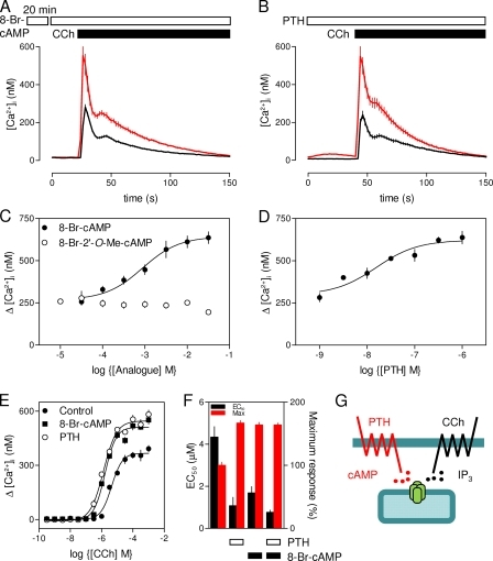 Potentiation of CCh-stimulated Ca2+ release by 8-Br-cAMP. (A and B) Ca2+ signals evoked by 1 mM CCh alone (black) or after prior treatment (red) with 8-Br-cAMP (A; 10 mM for 20 min) or PTH (B; 100 nM for 1 min). Results (n > 3 from one experiment; means ± SEM) are typical of more than six experiments. (C and D) Effects of 8-Br-cAMP, 8-Br-2′-O-Me-cAMP (C), and PTH (D) on peak [Ca2+]i evoked by 1 mM CCh. (E) Effects of PTH (100 nM for 1 min) and 8-Br-cAMP (10 mM for 20 min) on CCh-evoked Ca2+ signals. (F) EC50 values and maximal responses (as a percentage of control) are shown for CCh-evoked Ca2+ signals after the indicated treatments. Results (C–F) are means ± SEM from at least three experiments. (G) cAMP entirely mediates potentiation of CCh-evoked Ca2+ release.
