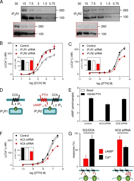 IP3R2 and AC6 are specifically required for PTH to potentiate IP3-evoked Ca2+ release. (A) WB (representative of five experiments) shows the effects of siRNA (boxed in red) on the expression of IP3R1 (260 kD), IP3R2 (260 kD), and β-adaptin (100 kD; protein loadings are given in μg; molecular weight standards are indicated in kD). Each block shows IP3R above and β-adaptin below. (B and C) Effects of reducing IP3R1 or IP3R2 expression on CCh-evoked Ca2+ signals (B) and the potentiation of CCh (1 mM)-evoked Ca2+ signals by PTH (C). The latter were measured as in Fig. 1 A. Results are means ± SEM of triplicate determinations from a single experiment. Insets show the maximal responses (means ± SEM) from four to five independent siRNA treatments. (D) The Ca2+ release evoked by CCh alone requires IP3R1, whereas the Ca2+ release evoked by CCh acting in concert with cAMP specifically requires IP3R2. (E and F) Effects of reducing AC3 or AC6 expression on PTH-evoked cAMP formation (E) and on the potentiation of CCh-evoked Ca2+ signals by PTH (F). Results are means ± SEM from at least five independent siRNA treatments; the main panel in F shows means ± SEM of triplicate determinations from a single experiment. (G) Summary showing that uniform inhibition (by ∼60–70%) of AC by SQ/DDA massively inhibits PTH-evoked cAMP formation, whereas a comparable (∼60–70%) loss of AC6 (using siRNA) has no detectable effect on cAMP formation but attenuates PTH-mediated Ca2+ signaling. Results indicate means ± SEM, n ≥ 3.