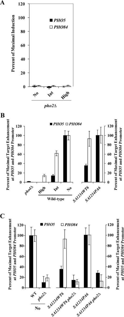 Deletion of PHO2 Abrogates Expression of PHO5 and PHO84 and Binding of Pho4 to These Promoters(A) Quantitation of RNA levels by Northern blot analysis in pho2Δ strains grown in no-, intermediate-, or high-phosphate medium.(B) Chromatin immunoprecipitation analysis of Pho4. Pho4 was immunoprecipitated from extracts of wild-type cells grown in high-, intermediate-, or no-phosphate medium, from a strain lacking Pho4 and from the two mutant Pho4 strains grown in high-phosphate medium. Experiments using the Pho4SA1234WT6- and Pho4SA1234PA6-expressing strains are normalized to the maximal amount of enrichment in a strain expressing Pho4SA1234PA6 in high-phosphate medium. The fold enrichment of PHO5 over ACT1 was 1.03, 0.99, 1.26, 2.84, 2.41, and 5.04 in lanes 1–6, respectively (pho4Δ, wt high, wt int, wt no, PHO4SA1234WT6, and PHO4SA1234PA6). The fold enrichment of PHO84 over ACT1 was 0.99, 1.75, 4.27, 6.28, 10.8, and 11.6 in lanes 1–6, respectively.(C) Chromatin immunoprecipitation analysis of Pho4. Pho4 was immunoprecipitated from extracts of wild-type cells grown in no-phosphate medium, a mutant lacking Pho2 in no-phosphate medium, Pho4SA1234WT6 and Pho4SA1234PA6 strains grown in high-phosphate medium, and pho2Δ Pho4SA1234WT6 and pho2Δ Pho4SA1234PA6 strains grown in high-phosphate medium. The fold enrichment of PHO5 over ACT1 was 2.84, 1.19, 2.41, 1.49, 5.04, and 2.06 in lanes 1–6, respectively (wt no, pho2Δ no, PHO4SA1234WT6, pho2Δ PHO4SA1234WT6, PHO4SA1234PA6, and pho2ΔPHO4SA1234PA6). The fold enrichment of PHO84 over ACT1 was 6.28, 2.0, 10.8, 2.4, 11.6, and 2.63 in lanes 1–6, respectively.