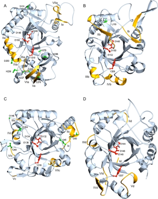 Homology models of H. jecorina chitinases. Homology models of the catalytic modules of H. jecorina chitinases (A) chi18-5, (B) chi18-13, (C) chi18-15 and (D) chi18-17 were generated using SOD and adjusted in O, based on hidden Markov models and Clustal W amino acid sequence alignments. Conserved catalytically important residues are indicated in red, amino acids under strong positive selection (Bayes factor ≥50) are indicated in green, variable regions from reverse conservation analysis (I scores ≥0.5) are indicated in orange and marked in Roman numerals from N- to C-termini. Residue numbering refers to catalytic module sequences used for modelling; 15–424 (chi18-5), 30–320 (chi18-13), 25–322 (chi18-15), 28–311 (chi18-17).