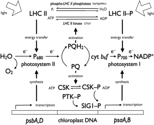 Interactions of photosynthetic electron carriers with redox-signalling components of photosystem stoichiometry adjustment and state transitions.Light reactions of photosynthesis are represented as electron transport from H2O to NADP+ via two photosystems connected by a cytochrome b6f complex which oxidizes plastiquinol (PQH2) to plastoquinone (PQ). CSK senses the redox state of the plastoquinone pool directly by becoming autophosphorylated and activated by PQ. CSK phosphorylation and dephosphorylation initiate transcription of PS II reaction centre (psbA,D) and PS I reaction centre (psaA,B) genes, respectively, selectively controlling expression of reaction centre genes in chloroplast DNA. The LHC II kinase Stn7 responds to PQH2 and initiates the state 2 transition, while the phospho-LHC II phosphatase, TAP38/PPH1, is redox-independent and predominates, inducing the state 1 transition, when PQ is oxidized. Even though they are both controlled by plastoquinone redox state, CSK exerts its transcriptional effect on photosystem stoichiometry independently of the effect of Stn7 in state transitions.