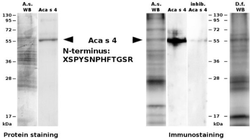 Purification and IgE reactivity of Aca s 4. The whole body extracts (20 μg) of A. siro (A.s WB) and D. farinae (D.f. WB) and the purified Aca s 4 (2.5 μg) were resolved by SDS-PAGE. Left-hand panel: A gel stained for protein with Coomassie blue. Right-hand panel: Western blot probed with pooled sera from mite-allergic patients sensitive to Dermatophagoides spp. and with anti-IgE antibodies and developed by chemiluminescence. For immunostaining inhibition (inhib.), the pooled sera were preincubated with purified Aca s 4. The arrows mark the position of Aca s 4 (~56 kDa) with the N-terminal sequence determined by Edman sequencing. Molecular mass standards are indicated.