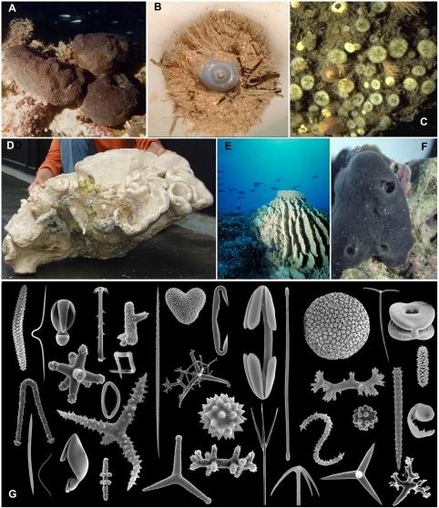 Demospongiae Morphology And Spicule Diversity A Bath S