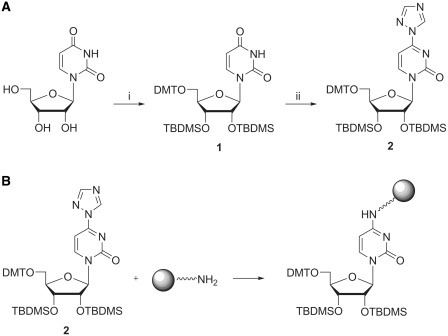 (A) Synthesis of the activated uridine analogue 2: (i) 1. DMT-Cl, pyridine; 2. TBDMS-Cl, imidazole, DMF; (ii) 1,2,4-triazole, POCl3, NEt3, acetonitrile. (B) Coupling scheme of protected 4-triazolyluridine (2) to amino-functionalized resin (for conditions, see 'Materials and Methods' section). The covalent linkage is formed between the base moiety of 2 and the amino-groups of the resin, thereby leaving the 3′-OH accessible for subsequent modifications.