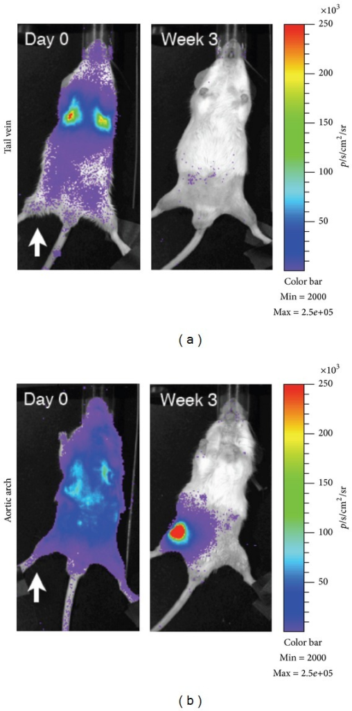 Comparison of intravenous and intra-arterial cell delivery. Mice were irradiated unilaterally (white arrow) before injection IV (tail vein; a) or IA (aortic arch; b) with 1 × 106 BMC9 MSCs expressing a luciferase reporter.