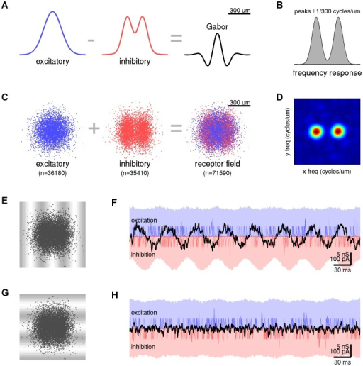 Gabor filtering by excitatory and inhibitory receptor densities.(A) Density profiles for excitatory (blue) and inhibitory (red) receptor populations which combine to form a Gabor filter (black). In this case, the excitatory density was nominated as Gaussian. (B) Spatial frequency response of the Gabor filter. Peaks correspond to waves of length 300 µm. (C) Excitatory (blue) and inhibitory (red) receptor samples taken from the density distributions in panel A. The combined receptor field (blue+red) represents the dendritic field of the neuron. (D) Spatial frequency response of the combined receptor field. Peaks correspond to vertically oriented waves of length 300 µm. (E) The combined receptor field superimposed on its preferred wave pattern. The wave pattern propagates from left to right at 6 mm/sec to simulate 20 Hz oscillations in the cortical field. (F) Time course of the net excitatory (blue shading) and inhibitory (red shading) conductances in response the preferred wave pattern. Faint lines show individual post-synaptic conductances for n = 40 randomly selected receptors (not to scale). Each receptor fires 20 spikes/sec on average. Heavy black line shows the dendritic current induced by the net changes in conductance. The amplitude of the dendritic current is modulated as the wave propagates across the receptor field. (G) The combined receptor field superimposed on the orthogonal wave pattern which propagates from top to bottom at 6 mm/sec. (H) Time course of the dendritic response to the orthogonal wave pattern. In this case the wave pattern does not modulate the dendritic current even though the individual receptors still fire at 20 spikes/sec on average.