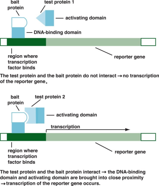 "Schematic representation of the yeast two-hybrid screen system. This strategy is based on the fact that certain proteins regulating gene expression in yeast and other higher organisms require two functional parts—a DNA-binding domain and an activating domain—to be fully active and activate the expression of an easily detectable reporter. For this approach, a known ""bait"" protein is fused to the DNA-binding domain of a yeast transcription factor. The activating domain of that transcription factor is fused to test proteins from a given cell or tissue. The fused test proteins then are mixed with the fused bait. If one of the test proteins interacts with the bait, the DNA-binding and activating domains of the transcription factor are brought together and can stimulate expression of the reporter gene."