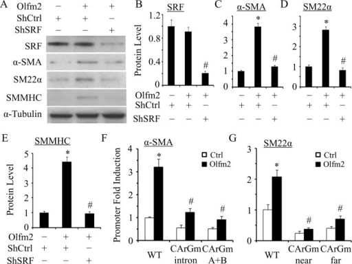 Olfm2 induced SM marker expression in an SRF/CArG-dependent manner. (A) Knockdown of SRF blocked Olfm2-induced SM marker expression. hES-MCs were cotransfected with control (–) or Olfm2 plasmid and control (shCtrl) or SRF shRNA (shSRF) plasmid as indicated, followed by serum starvation for 24 h. Western blotting was performed to detect the expression of proteins indicated. (B–E) Quantification of protein expression shown in A by normalizing to α-tubulin. *p < 0.01 compared with shCtrl-transfected group without Olfm2. #p < 0.01 compared with Olfm2-transfected group with shCtrl (n = 3). (F, G) CArG box mutation diminished the SM marker promoter activity activated by Olfm2. (F) α-SMA promoter (from −2.6 to +2.8 kb) constructs with wild-type (WT) or mutant CArG box either in the first intron (CArGm intron) or in the promoter region (CArGm (A+B)) were cotransfected with the control (Ctrl) or Olfm2 plasmid into hES-MCs for 48 h. (G) SM22α promoter constructs with wild-type (WT) or mutant CArG box in the two SRF-binding sites (CArGmnear or CArGmfar) were cotransfected with the control or Olfm2 plasmid into hES-MCs for 48 h. Luciferase assay was performed. Fold induction of promoter activity was calculated relative to the WT promoter cotransfected with the control plasmid (set as 1). *p < 0.01 compared with control plasmid–transfected WT promoter. #p < 0.01 compared with Olfm2 plasmid–transfected WT promoter (n = 3).