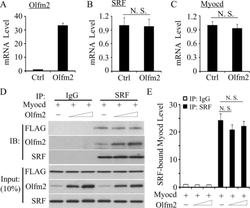 Olfm2 did not affect the expression of SRF, Myocd, and their interaction. (A–C) Olfm2 did not alter SRF and Myocd mRNA expression. hES-MCs were transfected with control (Ctrl) or Olfm2 plasmid, followed by serum starvation for 24 h. qPCR was performed to detect the mRNA expression of Olfm2, SRF, and Myocd as indicated. (D) Olfm2 did not affect SRF-Myocd interaction. hES-MCs were cotransfected with control (−; 20 μg) or Olfm2 plasmid (+; 10–20 μg) and FLAG-Myocd plasmid (Myocd, 20 μg) in 10-cm dishes. Cell lysates were immunoprecipitated with normal IgG or SRF antibody. The immunoprecipitates were blotted (IB) with FLAG, Olfm2, or SRF antibody. (E) Quantification of Myocd protein coimmunoprecipitated with SRF by normalizing to Myocd input level shown in D. N.S., not significant.