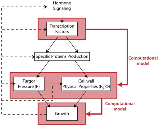 Schematic view of the regulation of growth in multicellular tissues.The different horizontal layers represent different levels of biological organization. The plain black arrows symbolize the downward stream of regulation between growth hormones and actual growth through transcription factors activation and physical quantities modulation. The red plain arrows depict the indirect, integrated relationships between transcription factor activation, physical quantities modulation and cell wall irreversible extension our computational framework attempts to grasp. Finally the black dashed upward arrows stand for possible feedback mechanisms from shape changes on the biochemical regulation of growth.