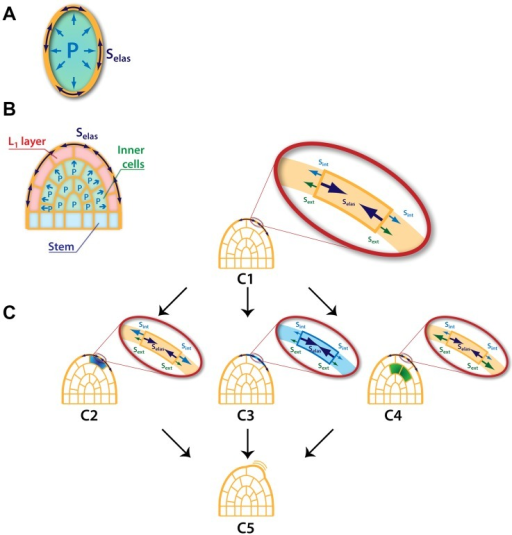 Origin of forces driving growth in a multicellular tissue.(A) In the single-cell case, the mechanical (elastic) stresses (, dark blue double arrows) undergone by the cell wall are due to the inner pressure (, light blue single arrows) of the cell. The mechanical equilibrium within this wall is regulated by the cell itself. (B) In a tissular case, (here a shoot apical meristem), mechanical stresses  within the outer cell walls of the L1 layer (light red cells), can be modulated by remote cells (here in light green). In this case the stem (light blue cells) plays the role of a base on which the inner cells rely in order to push the L1 layer upward. (C) Three main modalities of growth can be considered in a multicellular context (details on the stresses equilibrium within the outer cell wall are represented in the zooming views). From an initial state (C1) of the growing tissue three scenarios are considered: (C2) & (C3) present cell-autonomous ways where growth of a given cell is triggered by an increase of its inner pressure or a modulation of its wall mechanical properties respectively. (C4) represents a non-cell-autonomous case in which growth of the studied cell is initiated by physical alteration of its neighbors. (C5) All three modifications result in the local outgrowth of the considered region.