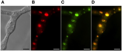 Co-localization of trichothecene biosynthetic enzymes calonectrin oxygenase and trichodiene oxygenase in toxigenic cells. Toxisomes are visualized in a strain of F. graminearum having a GFP-tagged calonectrin oxygenase and a TagRFP-T-tagged trichodiene oxygenase. (A) Toxigenic cells visualized using DIC microscopy. Note swollen cells with prominent vacuoles; (B) TagRFP-T-tagged trichodiene oxygenase fluorescence at the periphery of toxisomes; (C) GFP calonectrin oxygenase fluorescence at the periphery of toxisomes; (D) combined GFP and TagRFP-T florescence showing toxisome co-localization. Results presented in Menke et al. (2012); figure generated for Menke (2011).